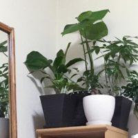 観葉植物は小さな木。樹木の力を感じる植物をご紹介!の画像