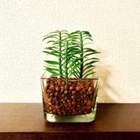 意外と知らない? ハイドロカルチャーな観葉植物の画像
