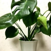 玄関をおしゃれに!風水的にも楽しめる観葉植物はどれ?の画像
