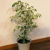インテリアで人気のゴムの木(フィカス)の人気種はこれ!の画像