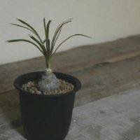 お部屋の雰囲気を変えてくれる人気の観葉植物3選!の画像