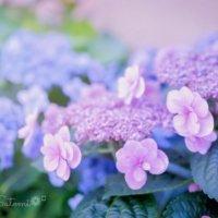 紫陽花(アジサイ)の花が終わったら?花後は剪定をすべし!の画像