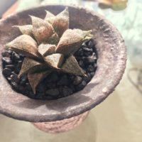 おすすめの多肉植物ハオルチア属をご紹介!の画像