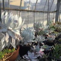 純白の多肉植物、ダドレア属の仙女盃の育て方の画像