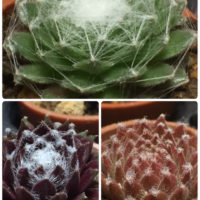多肉植物の世界〜種類豊富なセンペルビウム〜の画像