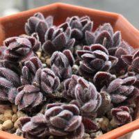 可愛い多肉植物、人気のベンケイソウ科5選の画像