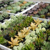 知っておきたい!冬型多肉植物の種類と育て方についての画像