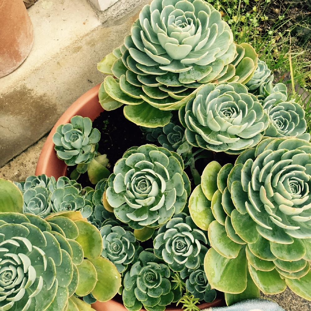 植物 七福神 多肉 近所の多肉売り場がスゴイことに‼七福神・久米の里・チワワエンシス