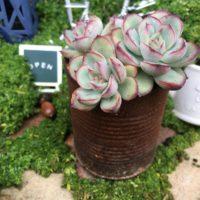 寒い地域でも育てられる!耐寒性の強い多肉植物3選の画像