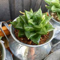 日陰を好む場所で、花も咲かせる多肉植物をご紹介!の画像