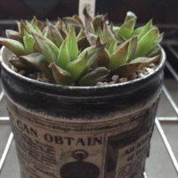 寄せ植えにピッタリ!厳選5種の多肉植物のご紹介!の画像