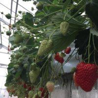 フェンスを使ってキュートにイチゴを育てよう!の画像