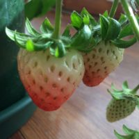 DIYでイチゴを栽培しよう!の画像