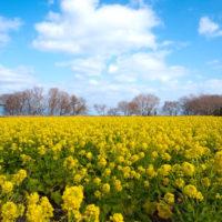 """""""幸せの黄色い""""菜の花は、春を運んできてくれる!の画像"""
