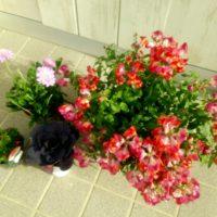 キンギョソウでDIYを楽しむ!素敵な花壇を作ろうの画像