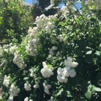 モッコウバラでセンスのあるお庭の造り方をご紹介します。の画像