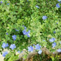 アメリカンブルーの水やりを季節ごとにご紹介!の画像