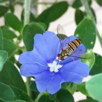 センス抜群の植物!アメリカンブルーを育ててみよう!の画像