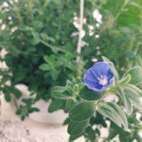 ガーデンツールを駆使してアメリカンブルーを育てようの画像