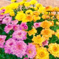 壁や棚に飾ってもお洒落!魅惑の花・ガーデンマムの画像