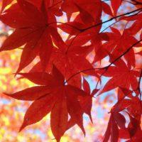 秋、香る!モミジを棚に飾りたい人に送るアイディア3つの画像