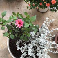 ガーデンマムの育成には肥料が必須!の画像