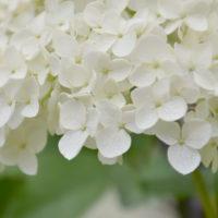 アジサイ・アナベルの水やり〜キレイに花を咲かせるには?〜の画像