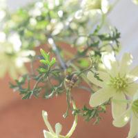 花言葉や名前の由来にセンスを感じるクレマチスの画像