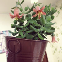 思わず検索!可愛い花の多肉植物3選の画像