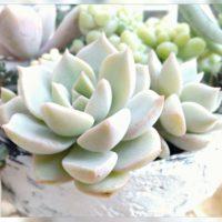 美しく気品のある姿をした、白い多肉植物3選の画像