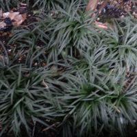 リュウノヒゲで快適な庭に!柵も活用しようの画像