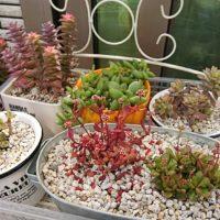 おさえたい!多肉植物の鉢替えのポイント!の画像