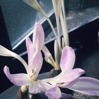 コルチカムの肥料はコレ!肥料の与え方もご紹介します!の画像