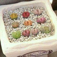 多肉植物のきらめく宝石、「リトープス」の育て方の画像