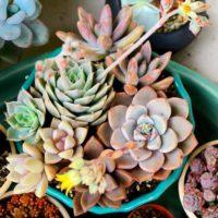 カワイイ系の多肉植物3選を紹介!の画像