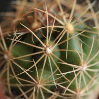 多肉植物、サボテンの種類を3選紹介!の画像