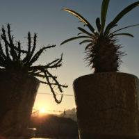パキポディウムの育て方| 植え替え時期や室内での置き場所は?の画像