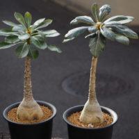 アデニウムの育て方|植え替えや種まきの時期は?の画像