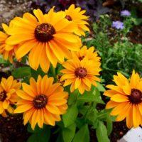 ルドベキアの育て方|種まきの時期や水やりの頻度は?の画像