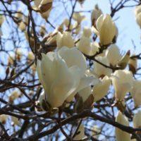 白く大きな花が上を向いて咲く、春の花木「ハクモクレン」が見頃!の画像