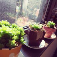 多肉植物は室内でも育てられる?室内向きの種類を教えて!の画像