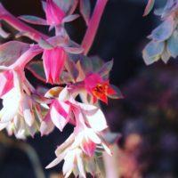 春の季節に花を咲かせる多肉植物3選の画像