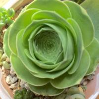 ガーベラのような輝き!アエオニウムをインテリアにしよう!の画像