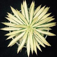 寄せ植えにするアガベの植え替え方をご紹介!の画像