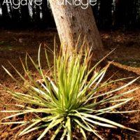 初心者でも安心!育てやすい多肉植物「アガベ」の画像
