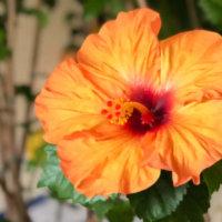 ハイビスカスの蕾が落ちる原因は?なぜ花が咲かないの?|三上真史のQ&Aの画像