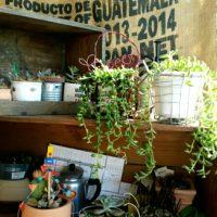 お部屋にグリーンの彩りを!おすすめ多肉植物3選の画像