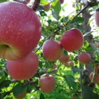 リンゴの育て方の画像