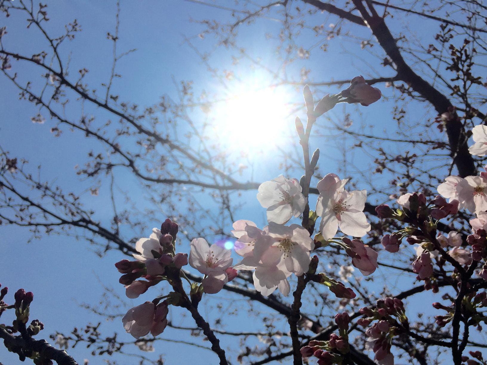 桜(サクラ)の育て方|水やりの頻度やつきやすい虫は?鉢植え栽培もできる?の画像