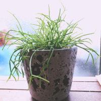 リプサリスの育て方| 水やりの頻度や増やし方は?の画像